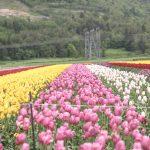 Vancouver Tulip Festival